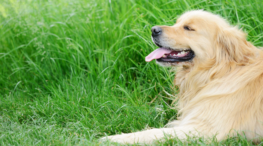 Why GLME is better than NSAIDs for Arthritis and joint pain treatment in Dogs