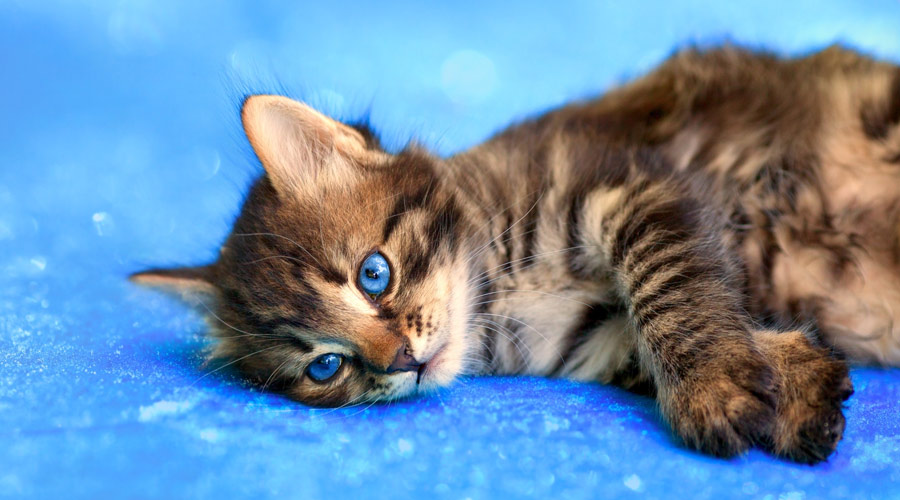 What home remedy can I give my cat for arthritis?