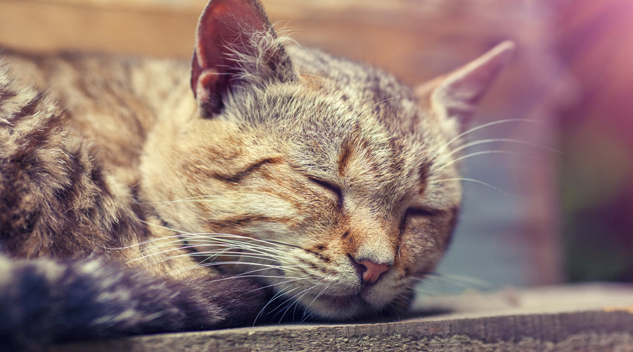 What anti-inflammatory can you give a cat?