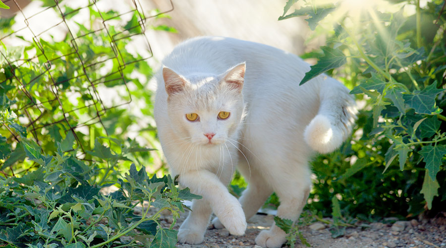 Can arthritis in cats be cured?