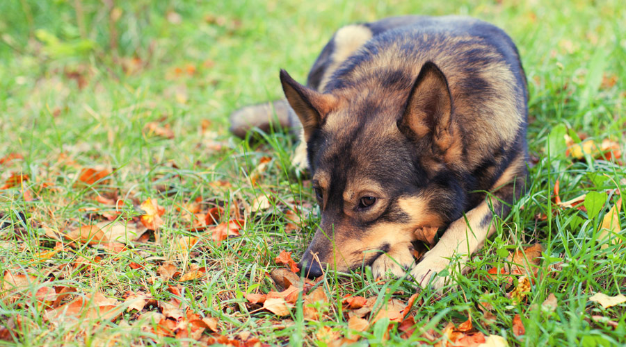 How do you know if your old dog is in pain?
