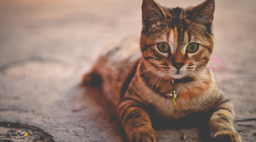 What is the Best Treatment for Arthritis in Cats?
